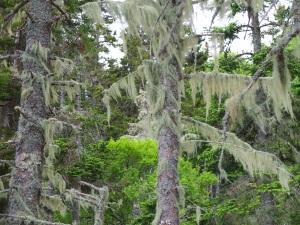 Vinalhaven Magic Trees